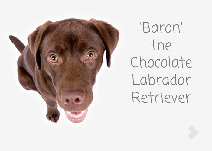 'Baron' the Chocolate Labrador Retriever