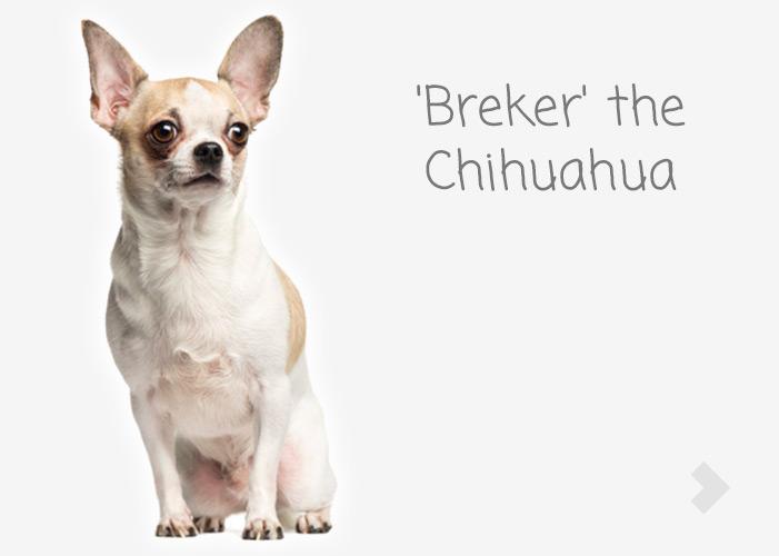 'Breker' the Chihuahua