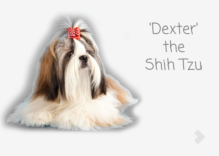 'Dexter' the Shih Tzu