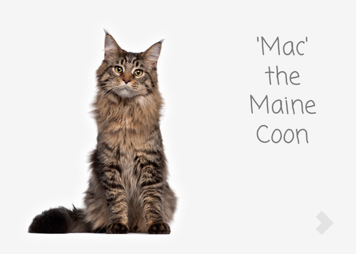 'Mac' the Maine Coon