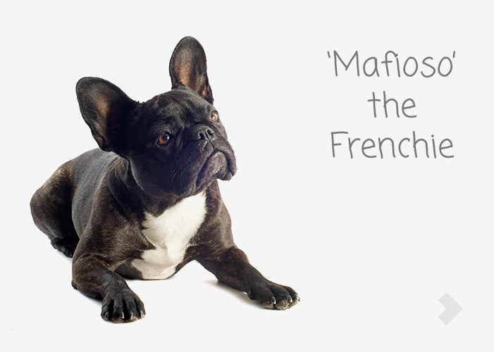 'Mafioso' the Frenchie