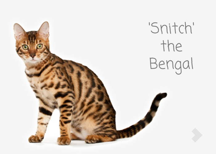 'Snitch' the Bengal