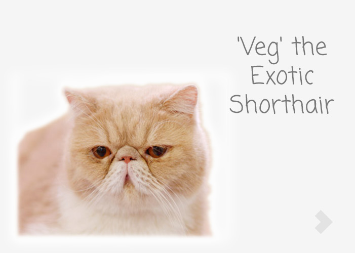 'Veg' the Exotic Shorthair